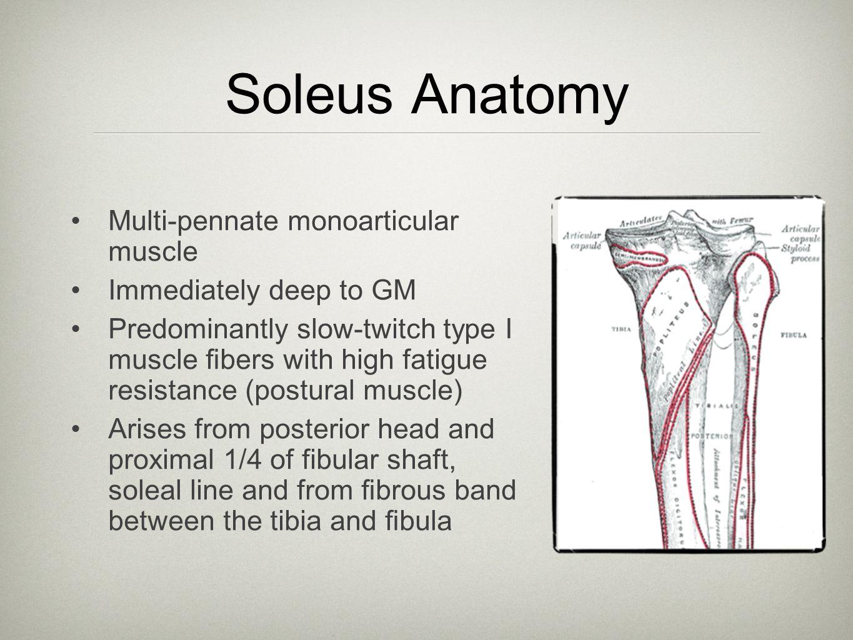 Soleus Anatomy Multi-pennate monoarticular muscle