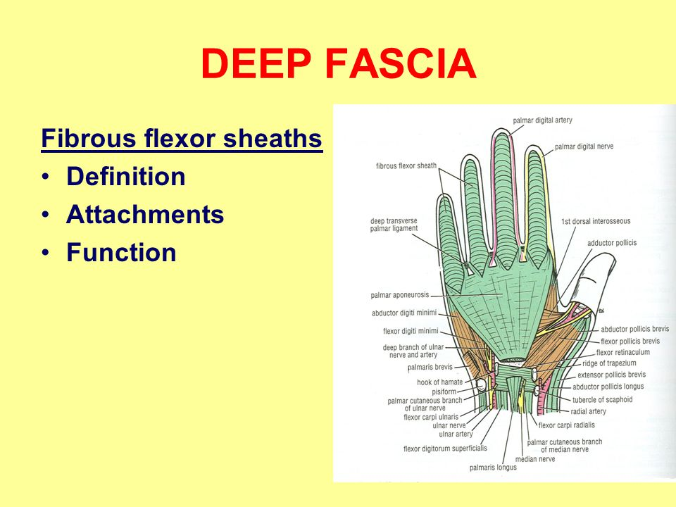 DEEP FASCIA Fibrous flexor sheaths Definition Attachments Function