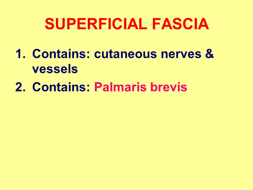 SUPERFICIAL FASCIA Contains: cutaneous nerves & vessels