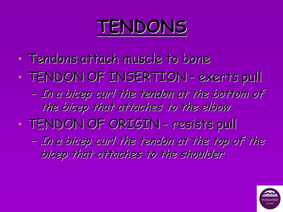 TENDONS Tendons attach muscle to bone