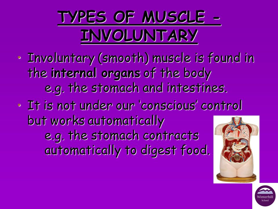 TYPES OF MUSCLE - INVOLUNTARY