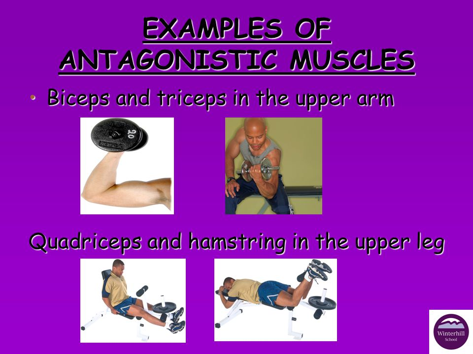 EXAMPLES OF ANTAGONISTIC MUSCLES
