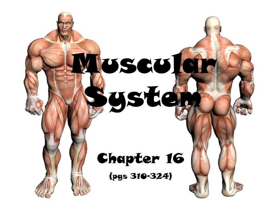 Muscular System Chapter 16 (pgs 310-324)