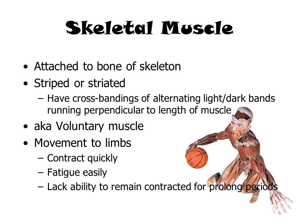 Skeletal Muscle Attached to bone of skeleton Striped or striated