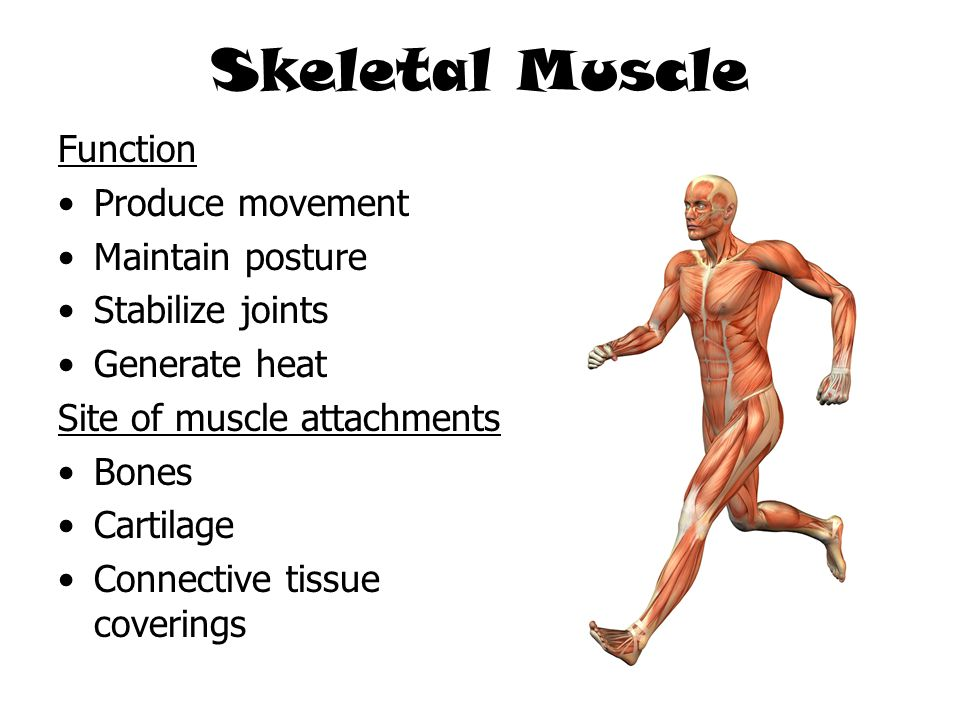 Skeletal Muscle Function Produce movement Maintain posture