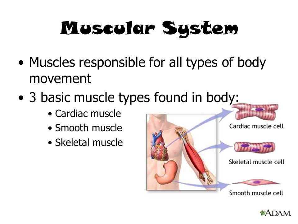 Muscular System Muscles responsible for all types of body movement