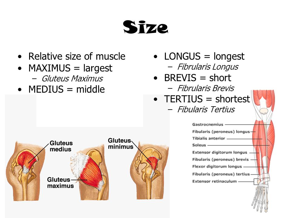 Size Relative size of muscle MAXIMUS = largest MEDIUS = middle