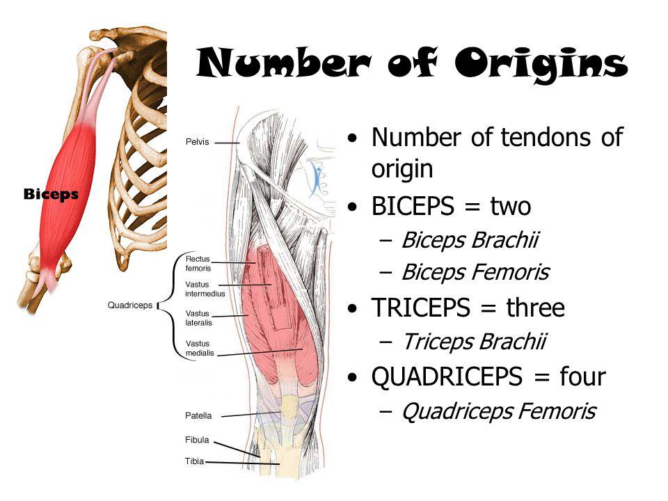 Number of Origins Number of tendons of origin BICEPS = two