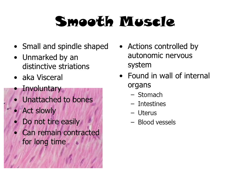 Smooth Muscle Small and spindle shaped