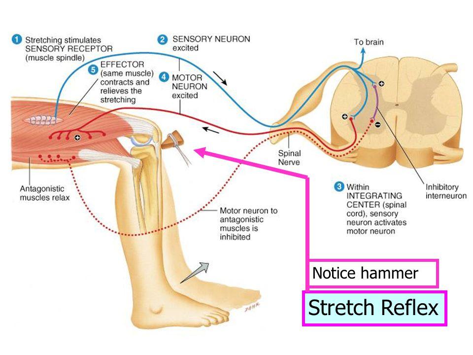 Notice hammer Stretch Reflex