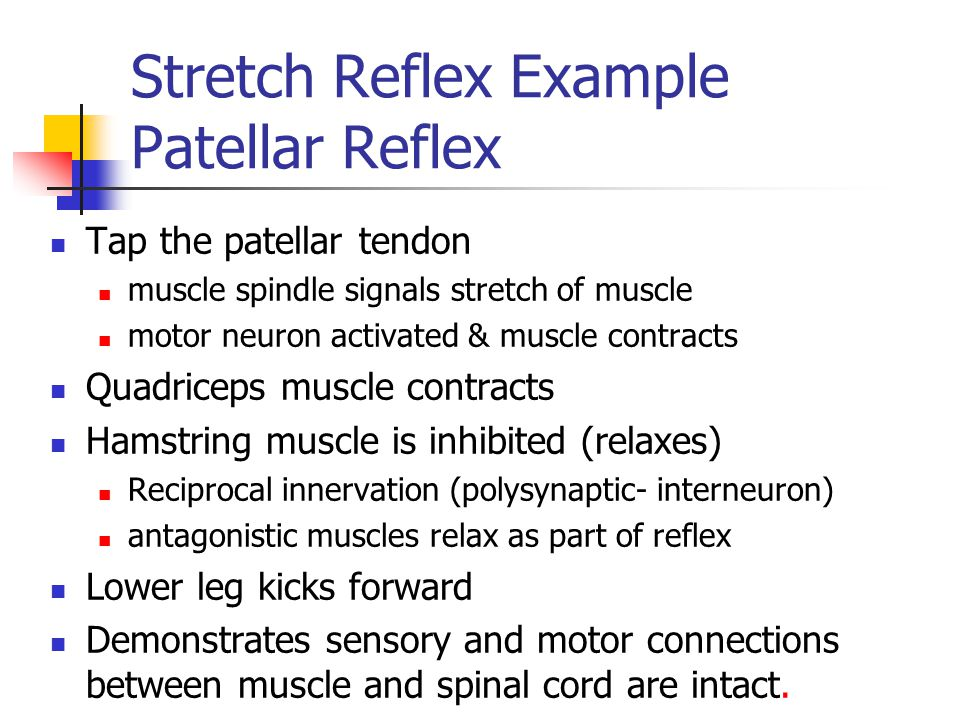 Stretch Reflex Example Patellar Reflex