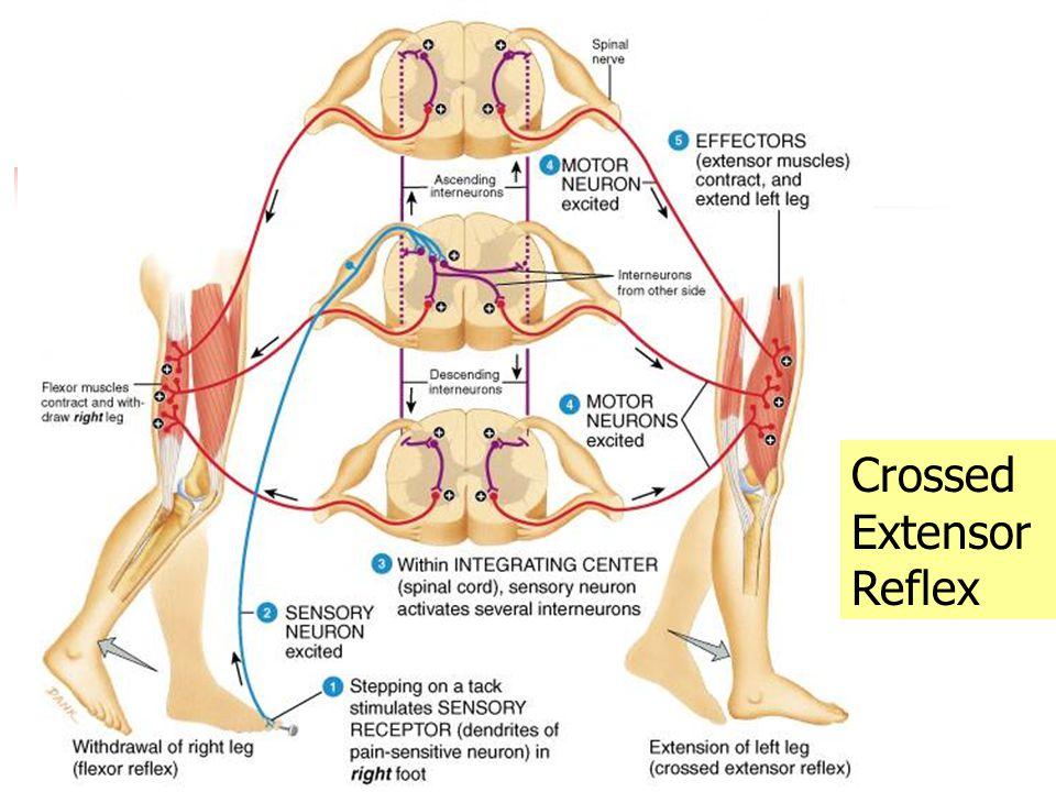 Crossed Extensor Reflex