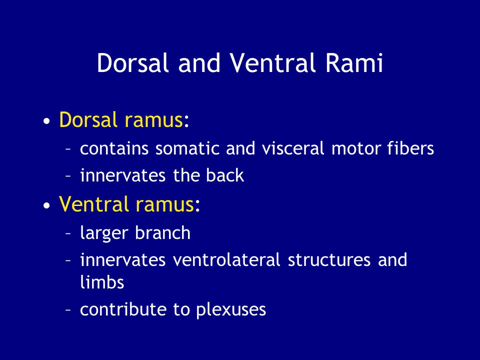 Dorsal and Ventral Rami