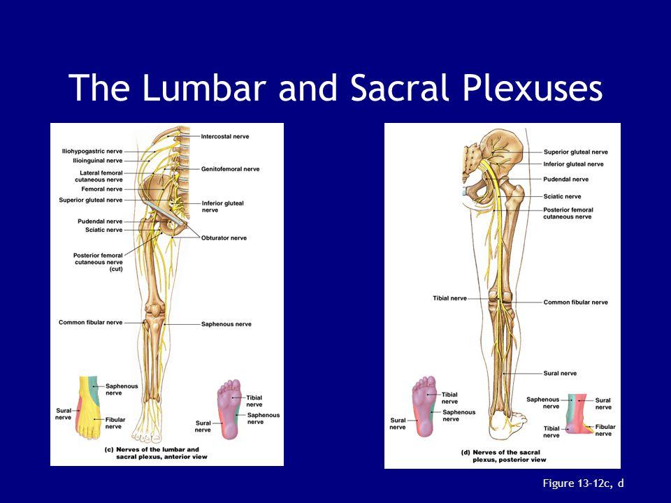 The Lumbar and Sacral Plexuses