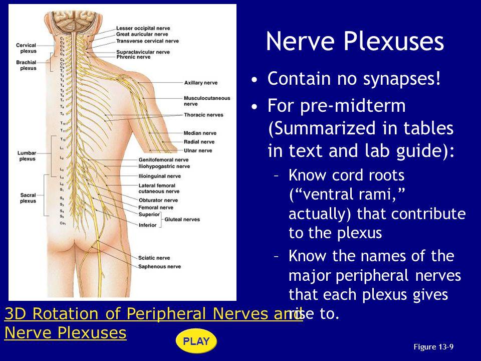 Nerve Plexuses Contain no synapses!