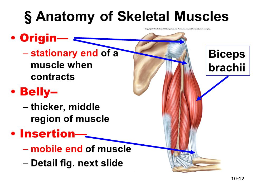§ Anatomy of Skeletal Muscles