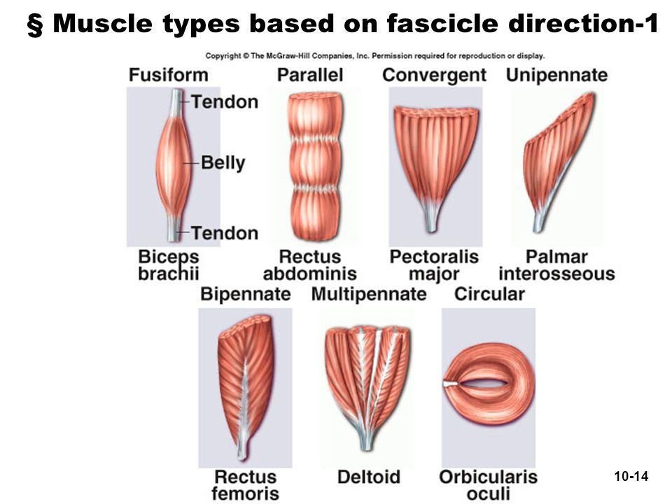 § Muscle types based on fascicle direction-1