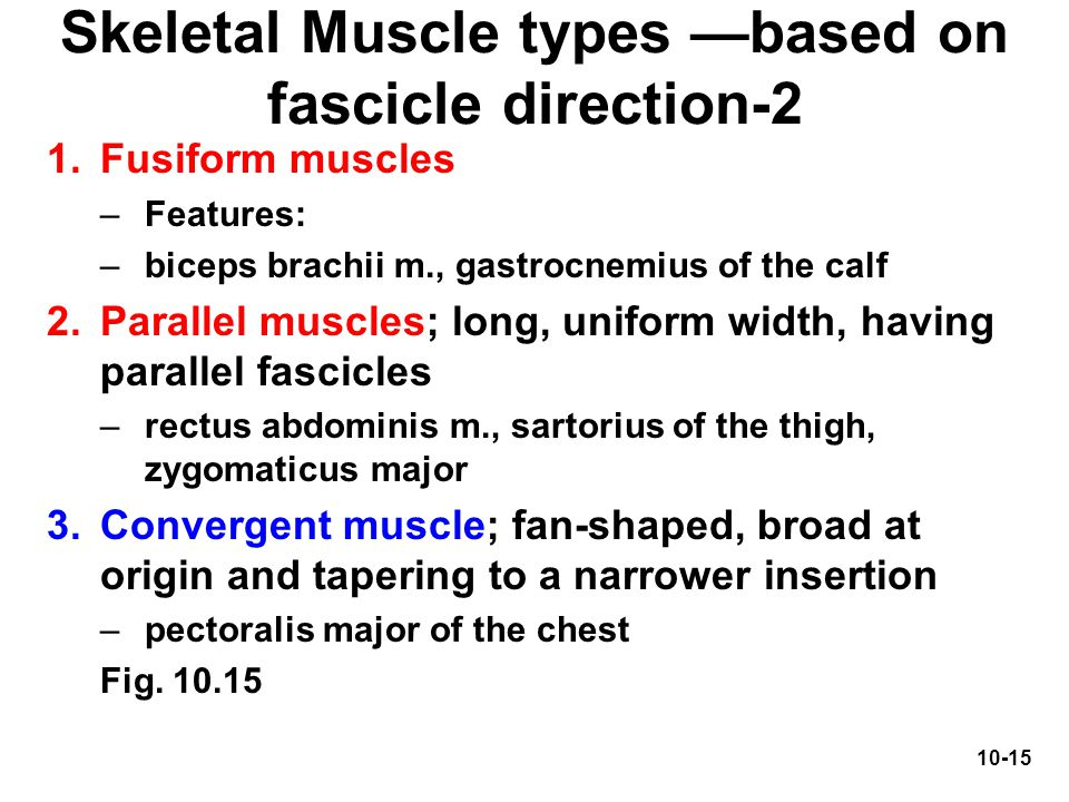 Skeletal Muscle types —based on fascicle direction-2
