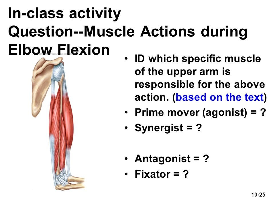 In-class activity Question--Muscle Actions during Elbow Flexion