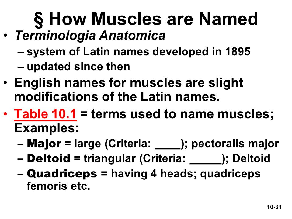 § How Muscles are Named Terminologia Anatomica