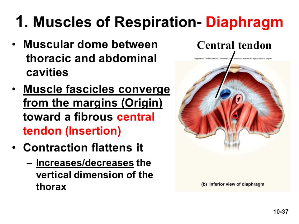 1. Muscles of Respiration- Diaphragm