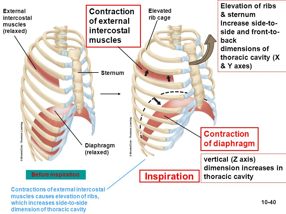 Inspiration Contraction of external intercostal muscles Contraction