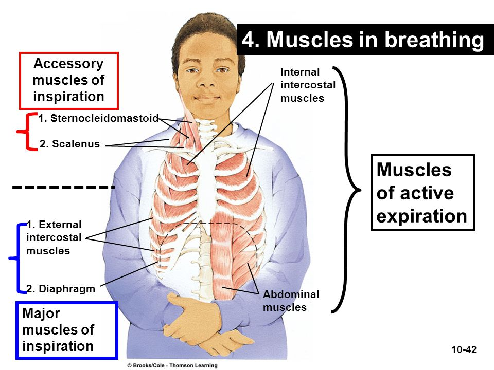 4. Muscles in breathing Muscles of active expiration Accessory