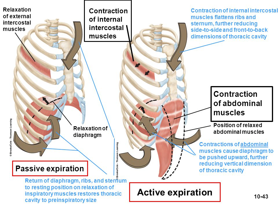 Active expiration Contraction of abdominal muscles Passive expiration