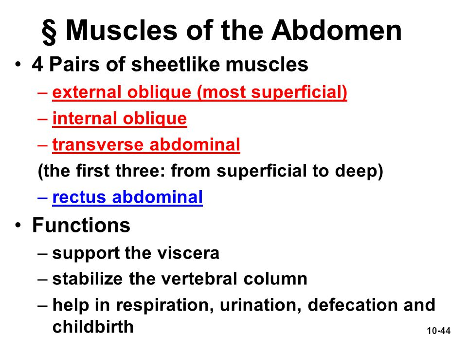 § Muscles of the Abdomen