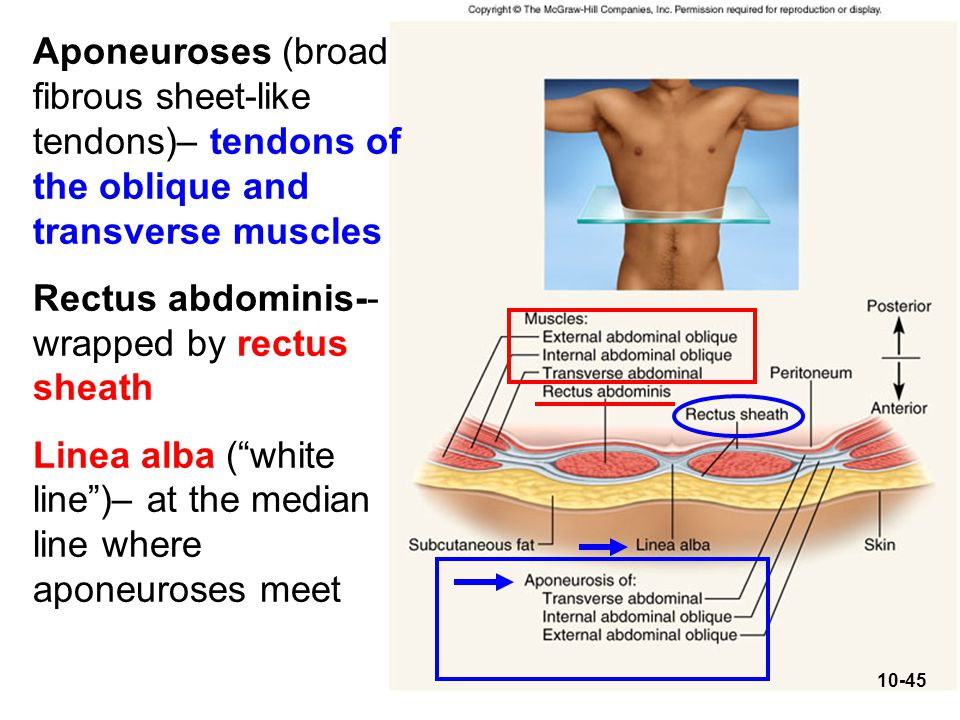 Aponeuroses (broad fibrous sheet-like tendons)– tendons of the oblique and transverse muscles