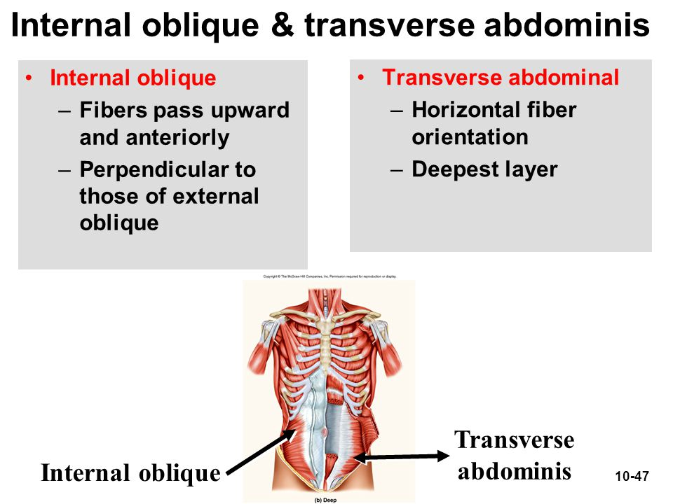 Internal oblique & transverse abdominis