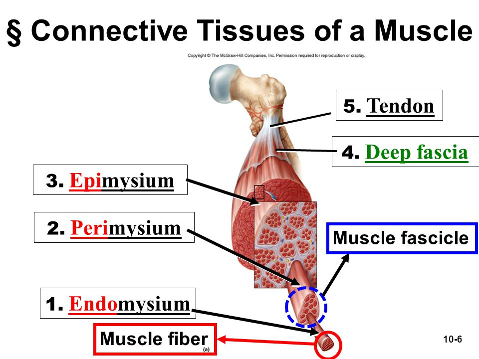 § Connective Tissues of a Muscle