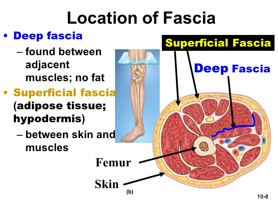 Location of Fascia Deep Fascia Femur Skin Deep fascia