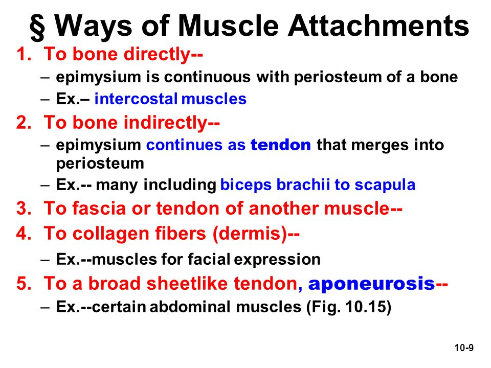 § Ways of Muscle Attachments