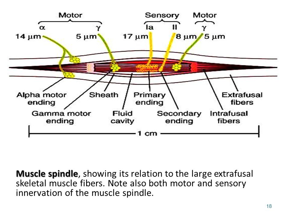 Muscle spindle, showing its relation to the large extrafusal skeletal muscle fibers.
