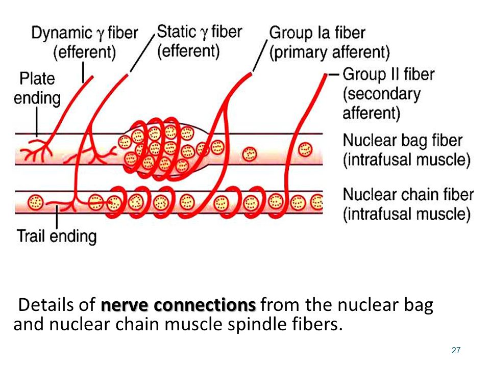 Details of nerve connections from the nuclear bag and nuclear chain muscle spindle fibers.