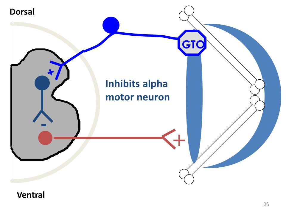 Dorsal Ventral + GTO - Inhibits alpha motor neuron +