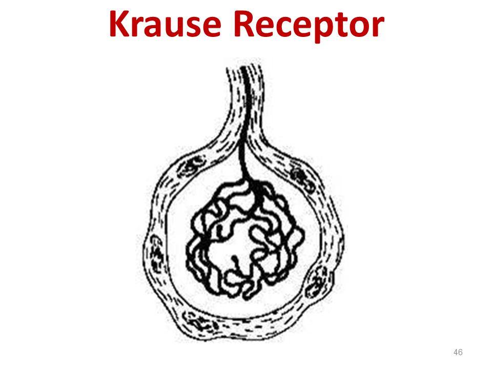 Krause Receptor