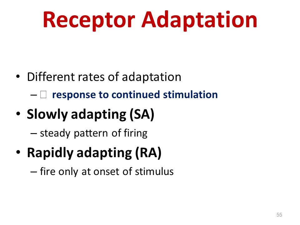 Receptor Adaptation Slowly adapting (SA) Rapidly adapting (RA)