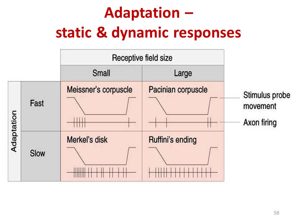 Adaptation – static & dynamic responses