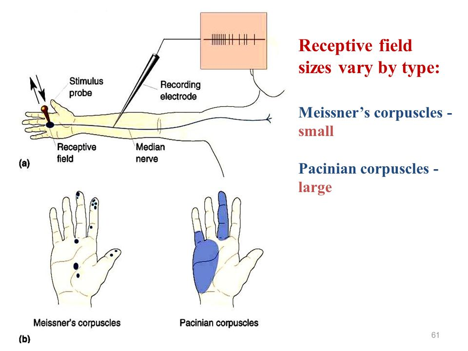 Receptive field sizes vary by type: Meissner's corpuscles - small