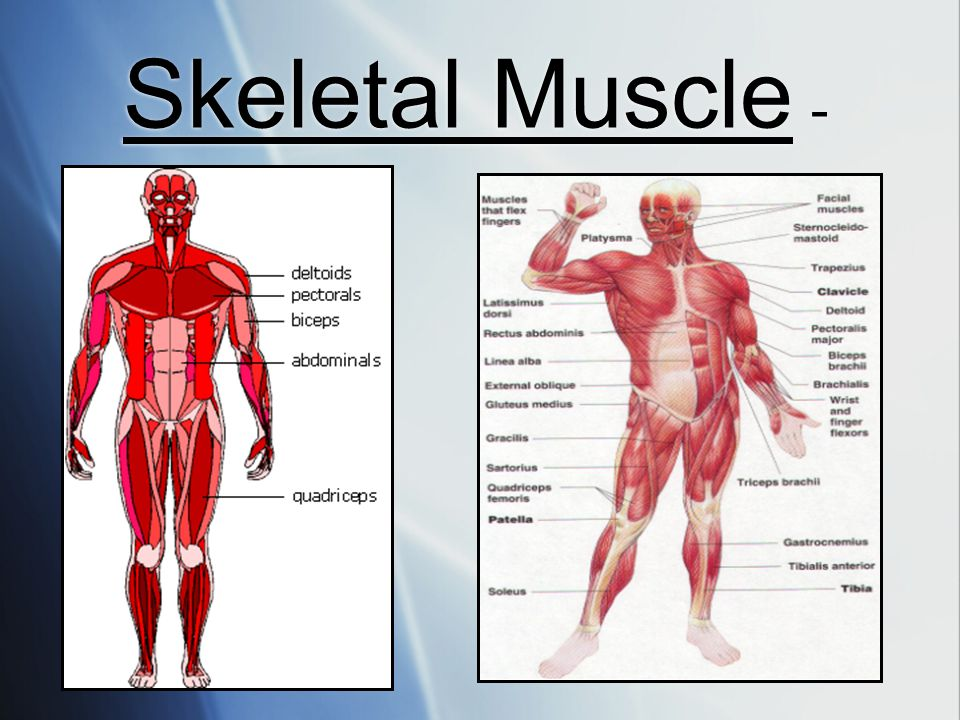 Skeletal Muscle -