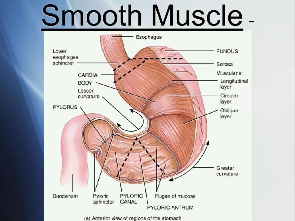 Smooth Muscle -