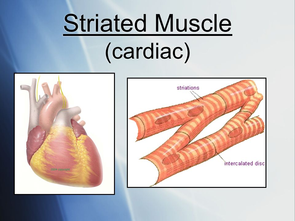 Striated Muscle (cardiac)