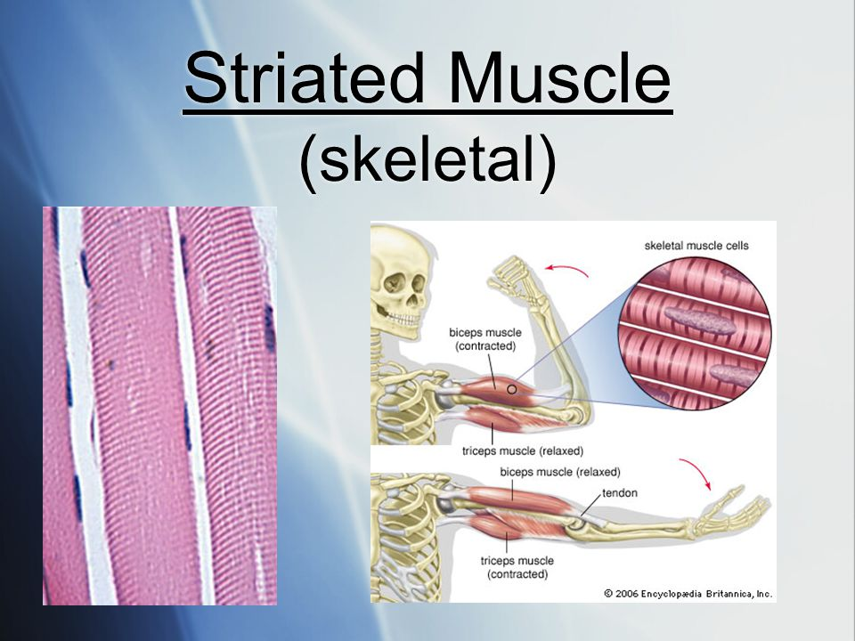 Striated Muscle (skeletal)