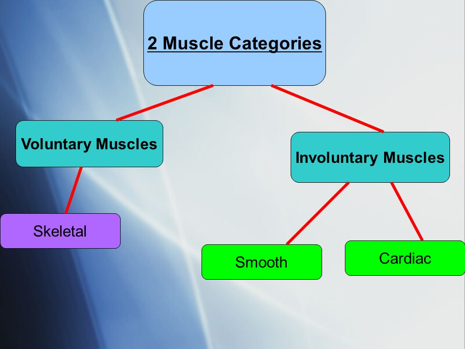 2 Muscle Categories Voluntary Muscles Involuntary Muscles Skeletal
