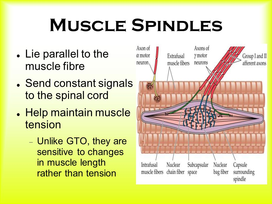 Muscle Spindles Lie parallel to the muscle fibre