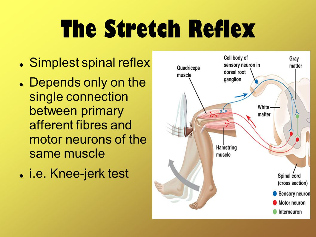 The Stretch Reflex Simplest spinal reflex