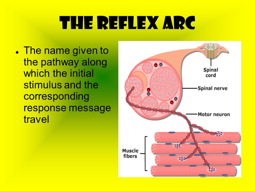 The Reflex Arc The name given to the pathway along which the initial stimulus and the corresponding response message travel.