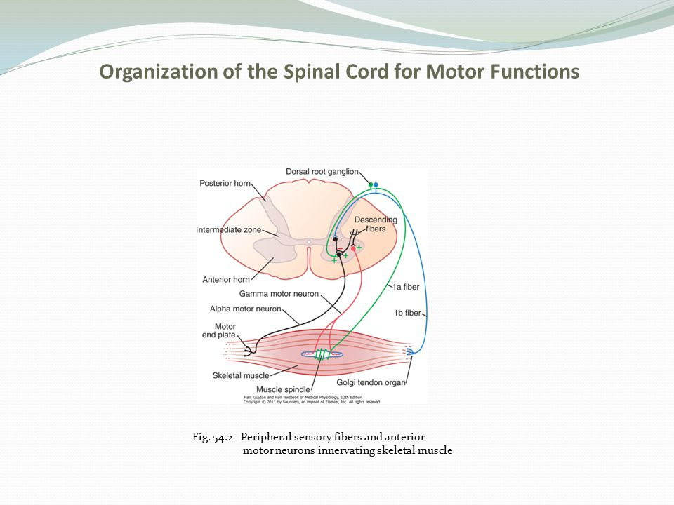 Organization of the Spinal Cord for Motor Functions